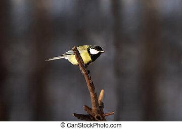 tit, lille træ, fugl, branch