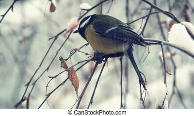 Tit on a snow-covered branches 1 - Titmouse on a...