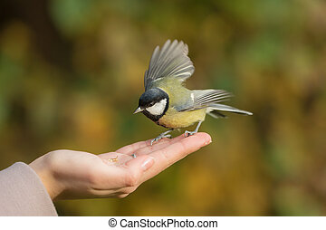 tit on the human palm