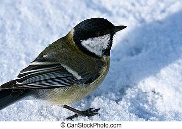 Tit on the snow