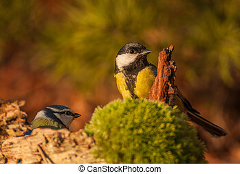 Tit - Parus major and Blue tit