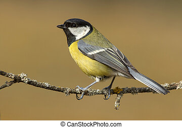 Tit ,( Parus major ) perched on a branch in the sun