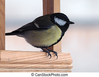 Tit with yellow plumage is sitting at the wood feeder