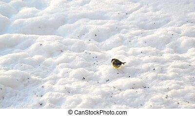 titmice eating sunflower seeds on snow