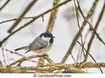 titmouse chickadee in the forest