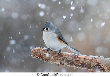 Tufted Titmouse (baeolophus bicolor) on a tree in a snow storm