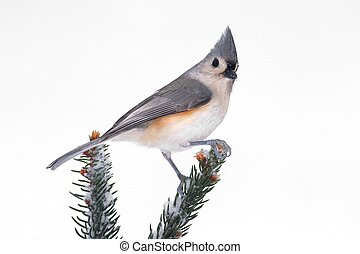 Titmouse in Snow - Tufted Titmouse (baeolophus bicolor) on a...