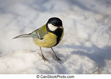 Titmouse in the winter