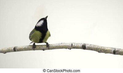 titmouse  isolations on a  white  screen