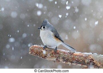 titmouse, nieve