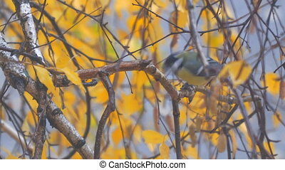 Titmouse on a birch branch among the yellow autumn leaves...