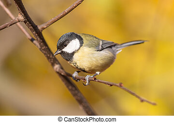 titmouse on a branch