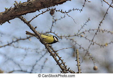 Titmouse on a larch branch