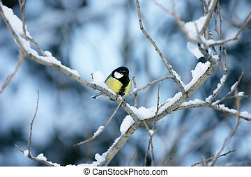 Titmouse on a snow covered branch on a blue background