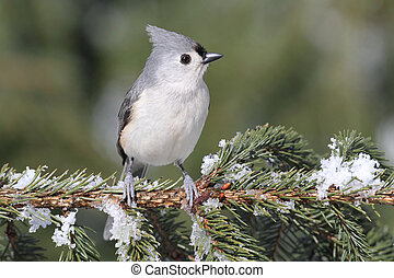 Titmouse On A Snow-covered Branch