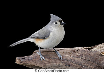 Tufted Titmouse (baeolophus bicolor) on a stump with a black background