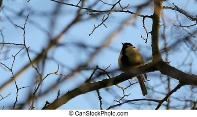 Titmouse on a tree on blue sky