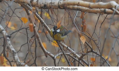 Titmouse on branches of birch - Titmouse on the branches of...