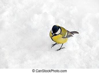 Titmouse on snow