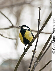 Titmouse on the branch