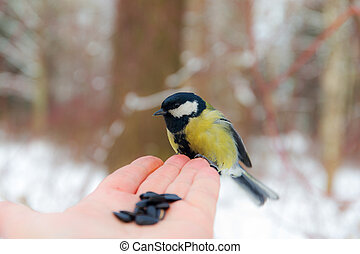 Titmouse on the palm of a man