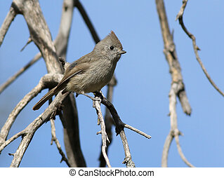 titmouse, perched, roble, rama