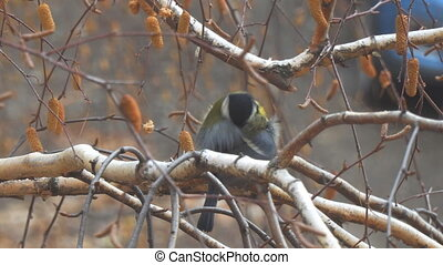 Titmouse preening and cleaning its feathers - Titmouse...