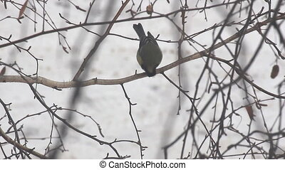 Titmouse sits on a birch branch and pecks its food