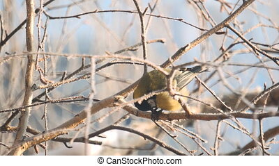 Titmouse sits on a snow-covered birch branch and pecks its...