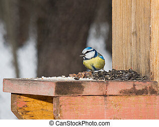 Titmouse the blue tit.