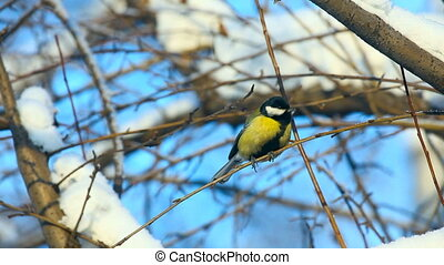 Titmouse. - Titmouse on a branch of wild apple.