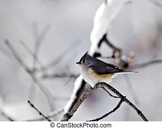 Titmouse With Snow