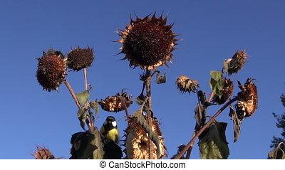 Tits bird on helianthus plant