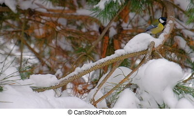 Tits on a fir branch in snowy winter forest