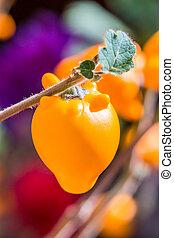 Titty Fruit aubergine,solanum mammosum plant