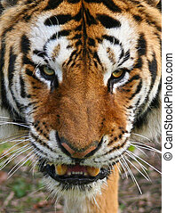 To Close For Comfort - This annoyed Bengal Tiger was ...