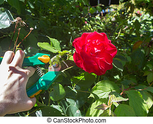 To cut a rose in a garden