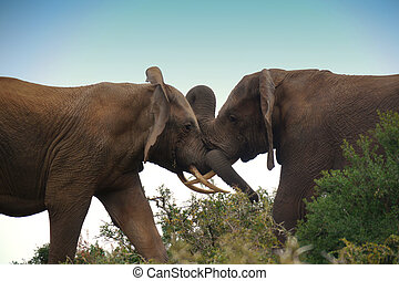 to fighting elephant bulls - two elephant bulls locked in...