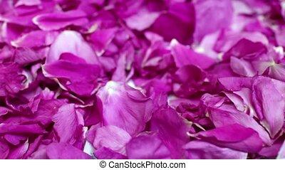 to strew petals rose - harvesting Rose petals  close to
