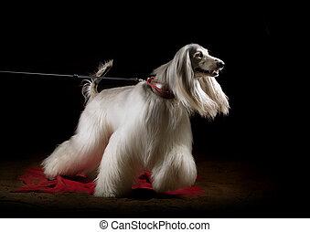 to the walk - afghan dog indoors, studio shot