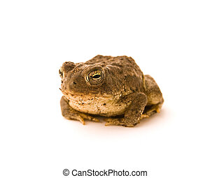 Toad - A toad isolated on a white background looking at you