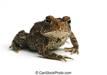 Toad - amphibian
