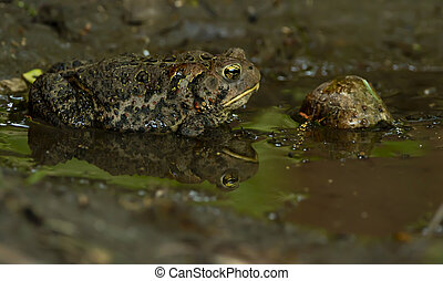 Toad and reflection in water
