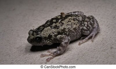 Toad Close Footage - Close up of a living toad