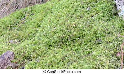 toad crawl moss - toad bufonidae bufo natterjack hoptoad...
