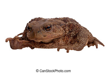 Toad face to camera, isolated on white