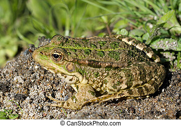Green toad in the marsh (Ile d'Olonne - France)