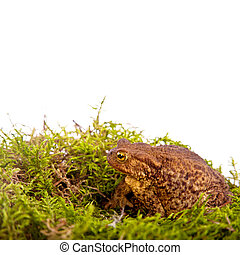 Toad is sitting on moss  on White