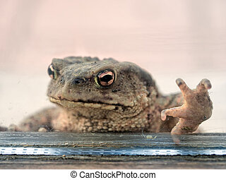 Toad knocking at my window, wanting to get in for the winter!