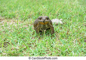 Toad on grass